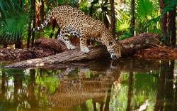 Leopard water drinking