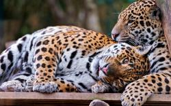 Leopards cuddle