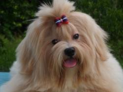 Add photos Lhasa Apso dog face in your blog: