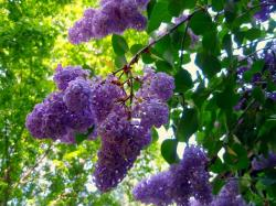Beautiful lilac flowers bring happiness