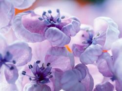 Lilac Flower - purple Photo