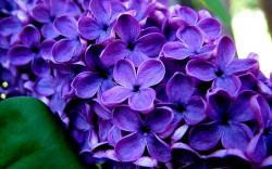 10 Beautiful HD Lilac Wallpapers