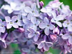 Lilacs are a very popular flower to grow since the bushes are hardy and can live for hundreds of years. Although originally from Asia and Europe, ...