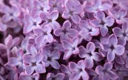 Lilac Wallpapers: Purple Lilacs Flowers Nature Background Wallpapers On Desktop 2560x1600px