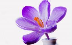 Lilac crocus