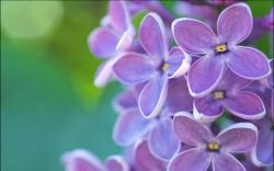Lilac flowers hd