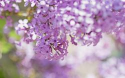 Lilac Flowers Close-Up