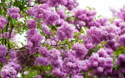 10 Beautiful HD Lilac Wallpapers