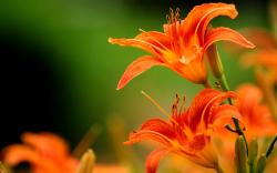 Lilies orange flowers