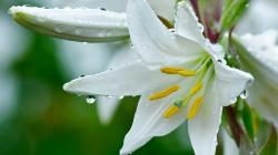 Lily Flower Wallpapers