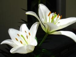 Lily Flower Images 16 HD Wallpapers