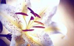... White Lily Flower ...