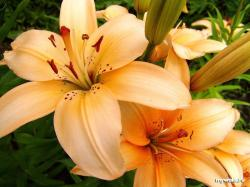 Lily Flowers 7 HD Images Wallpapers