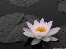 Wallpaper: White lily wallpaper