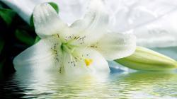 Desktop tiger lily wallpaper