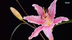 Lily wallpaper 1366x768