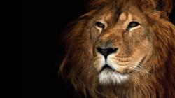 Lion Backgrounds 12632