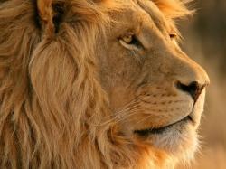 Lion Close Up Desktop Images 19087 High Resolution