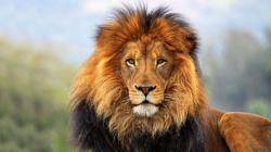lion head images wallpaper