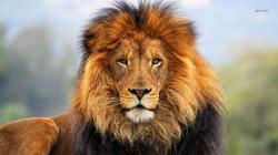 ... Lion #05 Image ...
