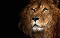 Lion Wallpaper New Photo For Desktop 280 Backgrounds