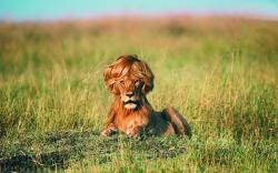 Lion with Wig Wallpapers Pictures Photos Images. «