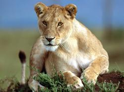 Lioness · Lioness · Lioness Background ...