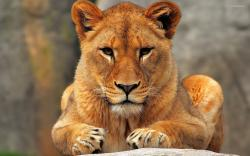 lioness, wallpapers, lion Lioness Wallpapers - Full HD wallpaper search