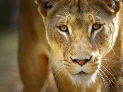Wallpaper Information: Lioness Backgrounds 14762