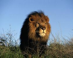 Lions Are Smart Like Apple Desktop Wallpaper Animal Backgrounds