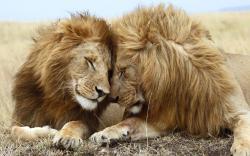 HD Wallpaper   Background ID:103530. 1680x1050 Animal Lion