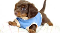 Desktop hd pictures of little cute dogs