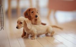 Little Dogs Free Wallpaper Images