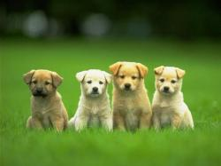 Desktop pictures of cute little dogs wallpaper