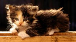 Widescreen Hd Wallpaper Gt Animals Cute Fluffy Kitten