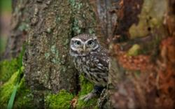 Bird Little Owl