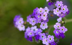 Little Purple Flowers Closeup