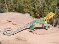 Collared Lizard, Collared Lizard