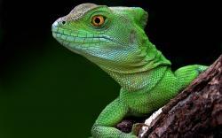 Lizard- Photo#04