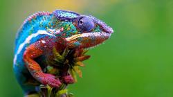chameleon-colorful-lizard