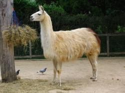 128 - Llama by kitsune-oni-stocks