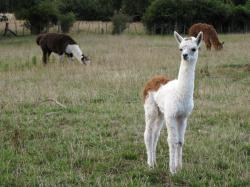 Baby Llama by VapourNZ ...