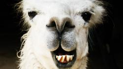 LLAMA IN YOUR FACE!!! - The Game