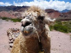 File:Llama closeup.jpg
