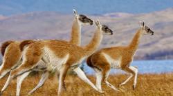 Llama Wallpapers Animal Llama Wallpaper