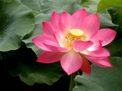 lotus flower high definition wallpapers beautiful desktop background photographs widescreen