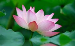 169103 Pink Lotus Flower Wallpaper Hd free backgrounds picture