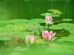 You can find Lotus Flower Wallpapers in many resolution such as 1024×768, ...