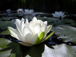 lotus flower high resolution wallpapers best desktop background pictures widescreen