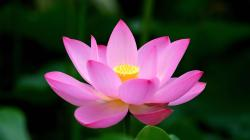 Pink lotus flower HD wallpaper 1920x1080 ...